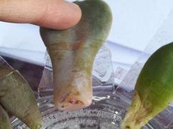 紫珍珠叶片水培方法