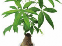 发财树   适合客厅养的水养植物