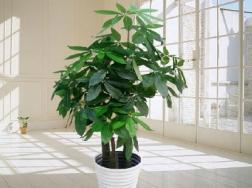 发财树怎么养殖