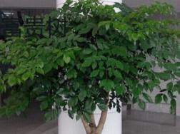 富贵树和幸福树的区别