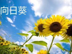 向日葵和太阳花的区别