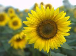 太阳花的寓意和花语