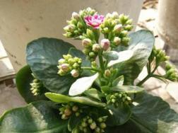 长寿花有毒吗,怎么在室内养?