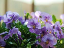 角堇花几月份种植,花期是多少?