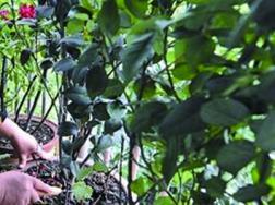 西府海棠怎么繁殖