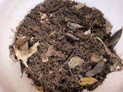 鸭掌木的养殖方法和注意事项