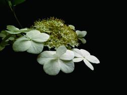 琼花的花语是什么,适合送给什么人