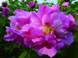 芙蓉花的养殖方法和注意事项