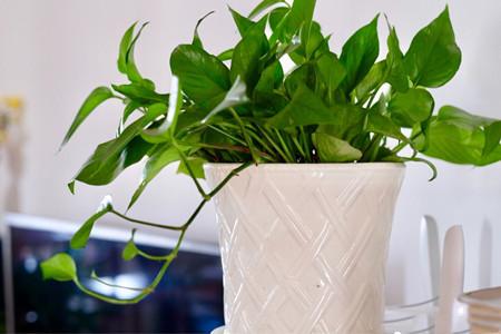 绿萝叶子有白斑怎么办图片