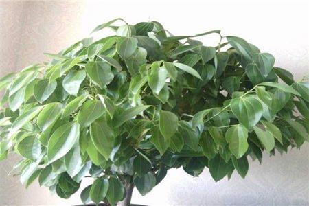 绿宝掉叶子是什么情况图片