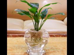 哪些植物适合水培