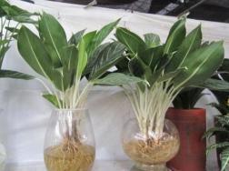 白柄粗肋草的水培养护