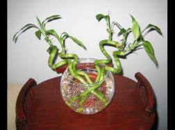 富贵竹的水养步骤