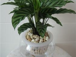 孔雀竹芋的水培方法