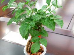 幸福树的水培方法