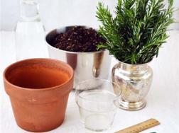迷迭香的水培的方法