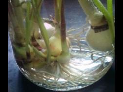 韭菜莲的水培方法