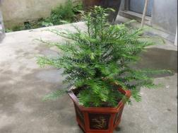 红豆杉盆景养殖方法