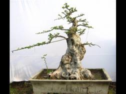 榆树怎么制作盆景