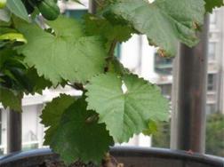葡萄盆景的制作养护