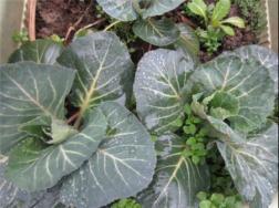 阳台种植花椰菜的方法