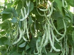 阳台怎么种植芸豆?