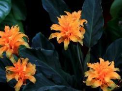 黄苞竹芋的病虫害防治方法