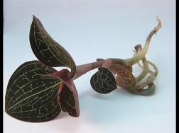 金线莲的病虫害及其防治