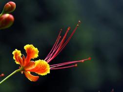 金凤花的病虫害防治