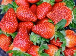 草莓烂根怎么处理