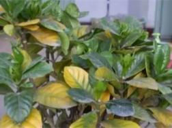 栀子茉莉喝了它,花朵砰砰爆满盆,黄叶烂根全没了!