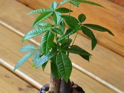 养发财树有什么好处