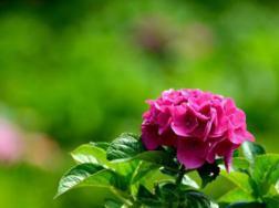 八仙花有什么功效和作用,有毒吗?