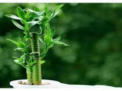 水养富贵竹杆突然发黄的原因
