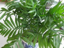 夏威夷椰子叶子发黄怎