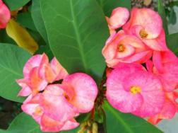 铁海棠叶子变黄怎么办
