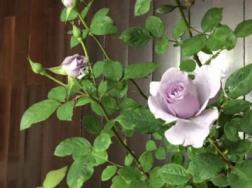 盆栽玫瑰花叶子发黄怎么办
