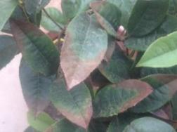 桂花树干叶是什么原因