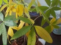 发财树叶子发黄干枯该怎么处理