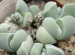 藻铃玉的养殖方法