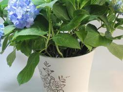 八仙花的养殖方法和注意事项