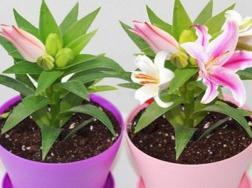 如何在家种植百合花