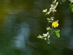 地栽迎春花多少天浇次水