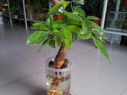 水栽发财树放多少水