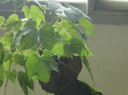 盆栽爬山虎用什么盆,放在盆里会爬么