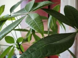 发财树是酸性还是碱性,是室内养还是室外养