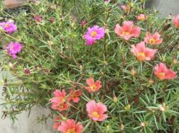 太阳花是向日葵吗,太阳花是多年生植物吗