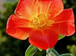 太阳花的特点,太阳花是什么时候开放的
