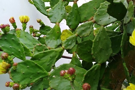 怎么让仙人掌快速生长,长出更多分枝