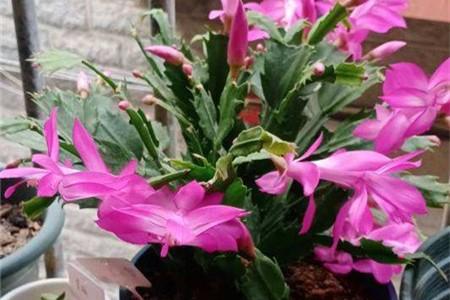 春季蟹爪兰的栽培养护,春天换盆好还是秋天好